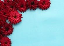 Flores do crisântemo de Borgonha do quadro fotografia de stock