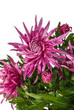 Flores do crisântemo, isoladas no fundo branco Imagem de Stock