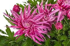 Flores do crisântemo, isoladas no fundo branco Imagem de Stock Royalty Free