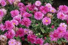 Flores do crisântemo nas máscaras do rosa Imagens de Stock