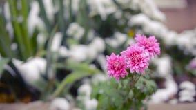 Flores do crisântemo sob a primeira neve filme