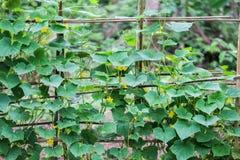 Flores do cucumeber, vegetais foto de stock