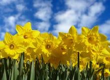 Flores do Daffodil na flor Fotografia de Stock Royalty Free