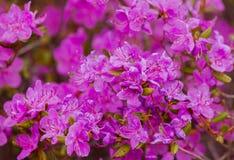 Flores do dauricum do rododendro do close up Florescência da mola imagem de stock royalty free
