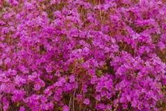Flores do dauricum do rododendro do close up Florescência da mola fotos de stock royalty free