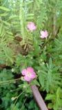 Flores do ` de ` hierba del golpe Imagens de Stock