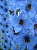 Flores do Delphinium Fotografia de Stock Royalty Free