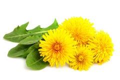 Flores do dente-de-leão com close-up das folhas Fotos de Stock Royalty Free