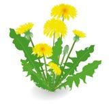 Flores do dente-de-leão no fundo branco Fotos de Stock