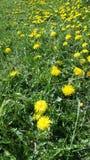 Flores do dente-de-leão no prado Fotografia de Stock