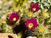 Flores do deserto imagem de stock royalty free