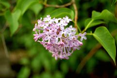 Flores do dia claro lilás fotos de stock