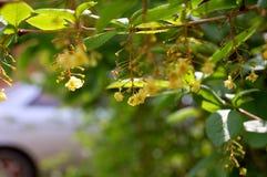Flores do dia da luz da bérberis fotografia de stock