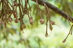 Flores do Durian imagens de stock royalty free