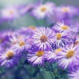 Flores do Echinacea Foto de Stock Royalty Free