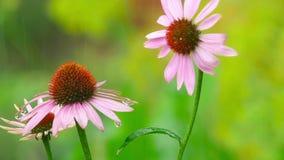 Flores do Echinacea na chuva vídeos de arquivo