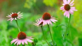 Flores do Echinacea na chuva video estoque