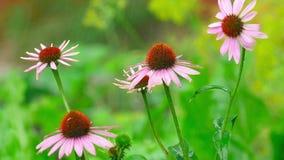 Flores do Echinacea na chuva filme
