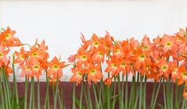 Flores do enterro do johnsonii de Hippeastrum Imagens de Stock