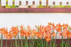 Flores do enterro do johnsonii de Hippeastrum Fotos de Stock Royalty Free