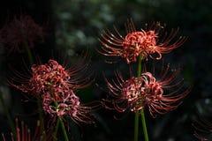 Flores do equinócio Foto de Stock