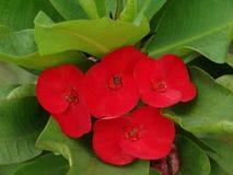 Flores do eufórbio imagens de stock