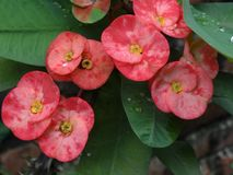 Flores do eufórbio fotografia de stock