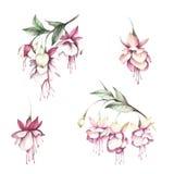 Flores do fúcsia da imagem Ilustração da aquarela da tração da mão ilustração do vetor