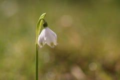 Flores do floco de neve em um jardim Imagem de Stock Royalty Free