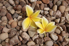 Flores do Frangipani Imagem de Stock Royalty Free