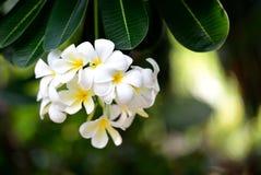 Flores do Frangipani. Fotografia de Stock Royalty Free