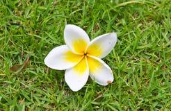 Flores do Frangipani Imagem de Stock