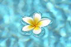 Flores do Frangipani na água Foto de Stock