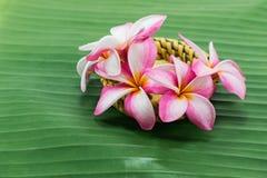 Flores do Frangipani nas folhas da banana Fotos de Stock Royalty Free