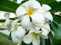 Flores do Frangipani no jardim imagens de stock