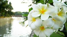 Flores do Frangipani no jardim e no córrego fotos de stock