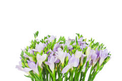 Flores do freesia do Lilac Fotos de Stock