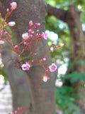 Flores do fruto de estrela em Tailândia Fotos de Stock Royalty Free