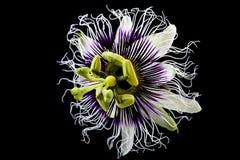 Flores do fruto de paixão imagens de stock