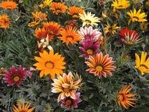 Flores do Gazania Fotos de Stock Royalty Free