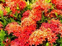 Flores do gerânio da selva com luz solar e o arbusto verde atrás fotografia de stock
