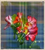 flores do gerânio no fundo verific Imagens de Stock Royalty Free