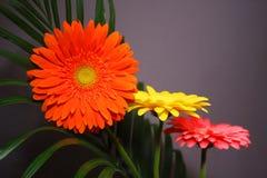 Flores do Gerbera Fotos de Stock Royalty Free