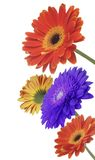 Flores do Gerbera fotografia de stock royalty free