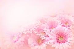 Flores do Gerbera no fundo cor-de-rosa imagens de stock