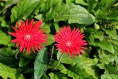 Flores do Gerbera no verão Fotografia de Stock Royalty Free