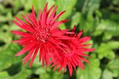 Flores do Gerbera no verão Imagens de Stock Royalty Free