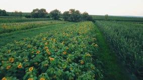 Flores do girassol filme