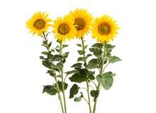 Flores do girassol isoladas fotos de stock royalty free