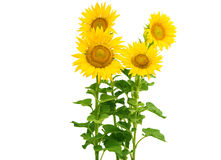 Flores do girassol isoladas imagem de stock royalty free